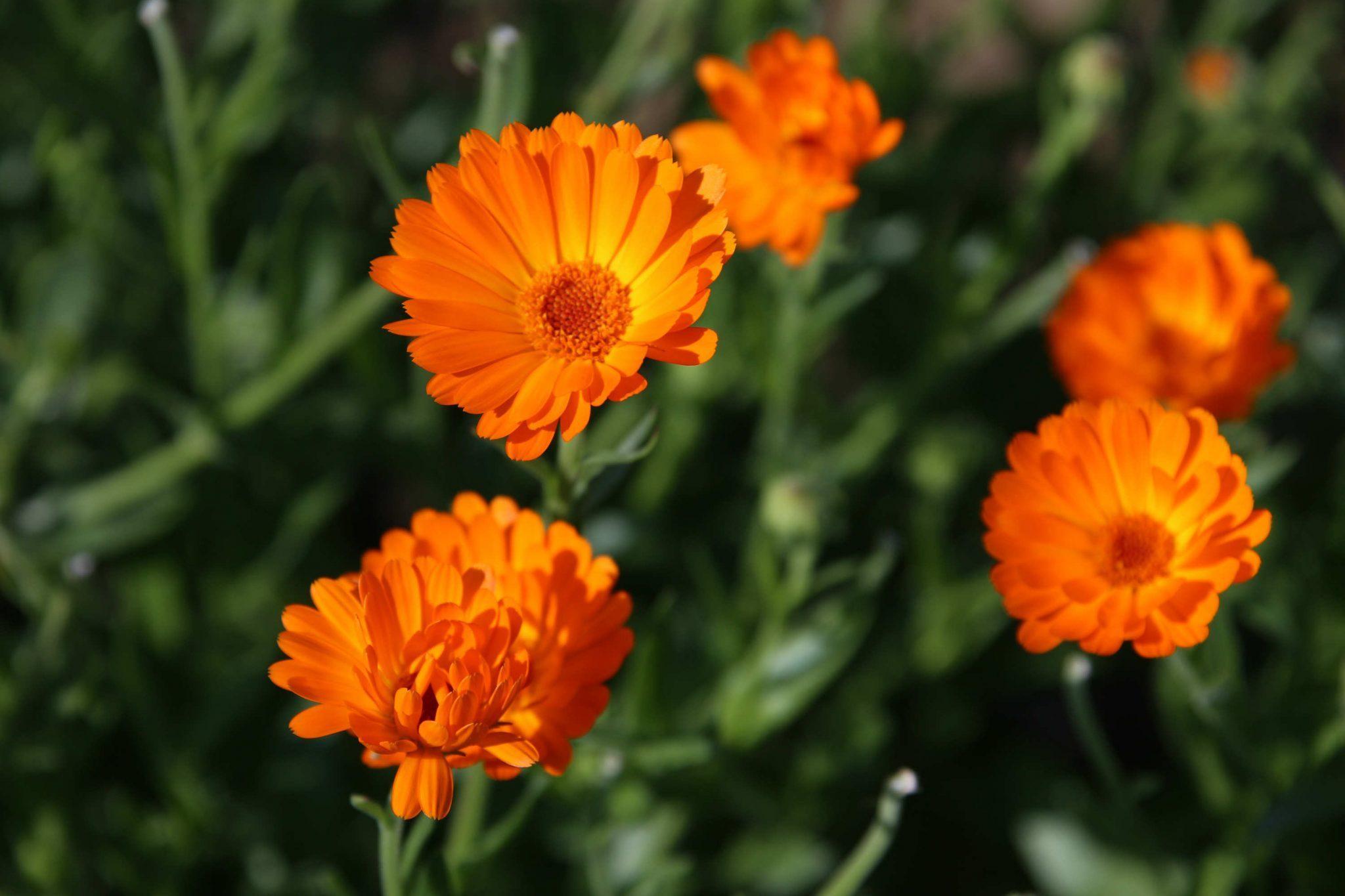 Marigolds (Calendula officinalis)