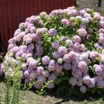 The spectacle of creation (one of the biggest Hortensia plants in the world)