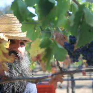 Manual tasks bring their own special blessings - a photo report with grapes
